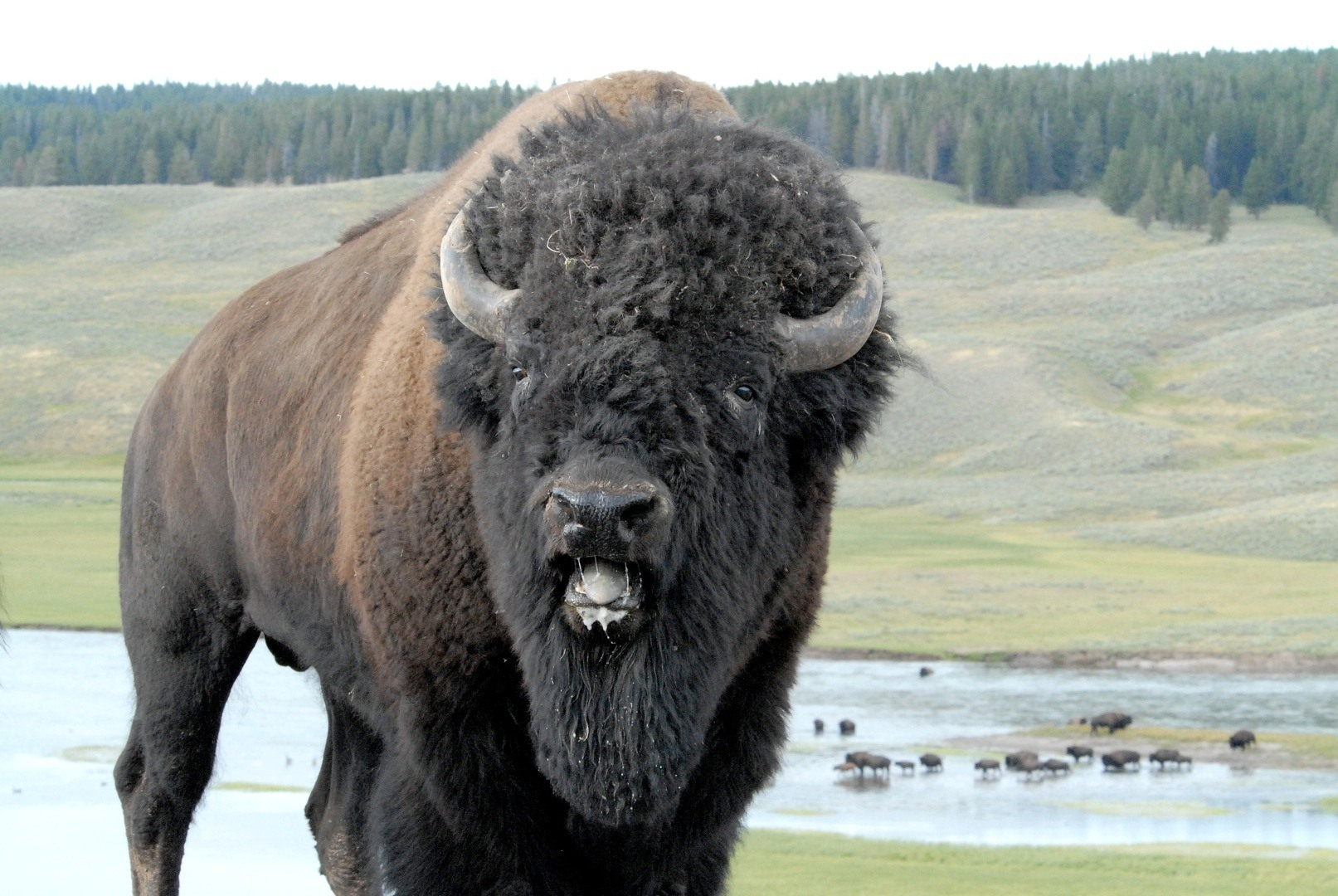Is Bison A High Uriac Acid Food