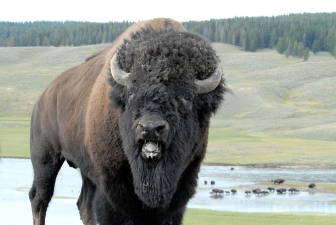 Bison are very protective of their land.  (Photo credit: Adrian Measures)