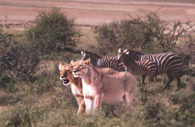 Modern zebras demonstrate their interspecies acumen by sneaking up on their new lion friends.  (Photo credit: Robin Hutton)