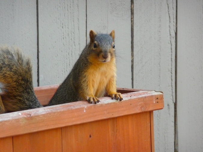 Not guilty of stealing acorns?  I think not.  (Photo credit: NHN_2009)